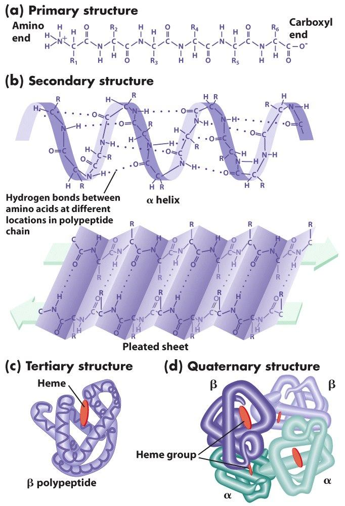 a study of protein structure Chapter 3: protein structure and function what are monomers what is the most structurally sophisticated molecule we know of what different biological functions do proteins have.